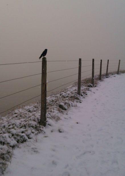 snow_jackdaw